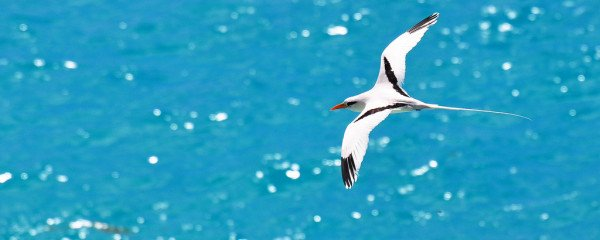 White-tailed Tropicbird by kansasphoto