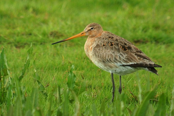 Black-tailed Godwit cc-by Frank Vassen