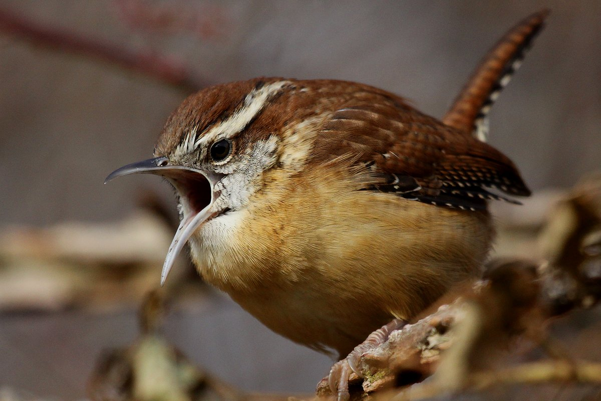 http://10000birds.com/wp-content/uploads/2012/11/Carolina-Wren-mouth-open-big.jpg