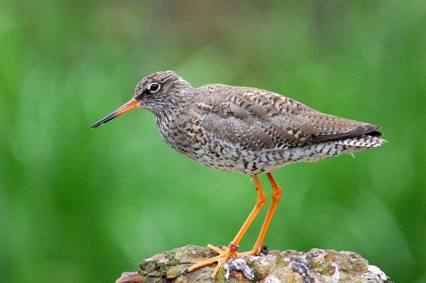 Common Redshank by Kev Chapman