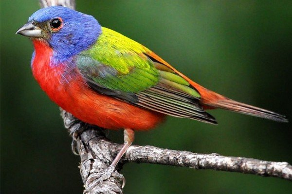 Painted Bunting from Audubon Gift Catalog