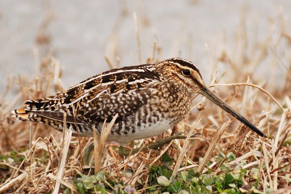 Wilson's Snipe by David J. Ringer