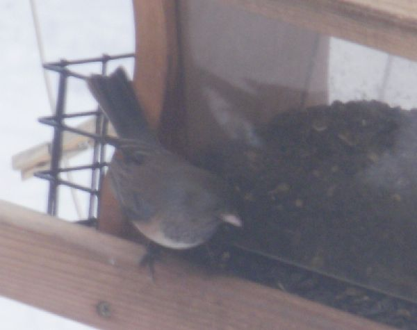 Dark-eyed Junco on a bird feeder