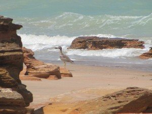 Beach Stone-curlew at Gantheaume Point