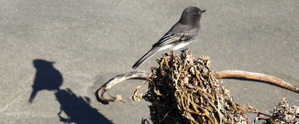 Black Phoebe and shadow