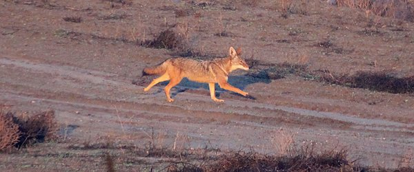 Coyote in Yorba Linda