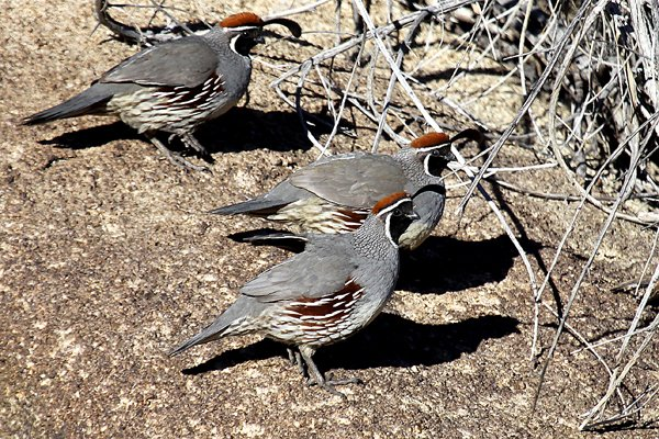 Gambel's Quail by Corey Finger
