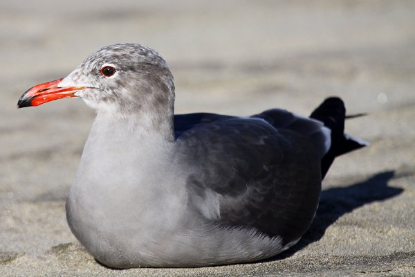 Heermann's Gull Larus heermanni