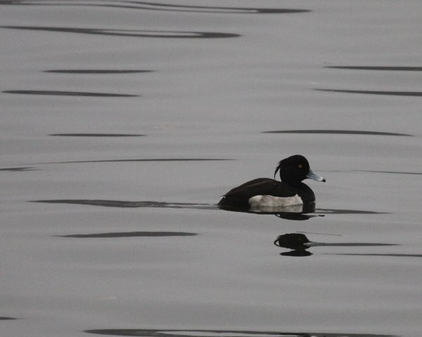 Tufted Duck in Huntington Harbor