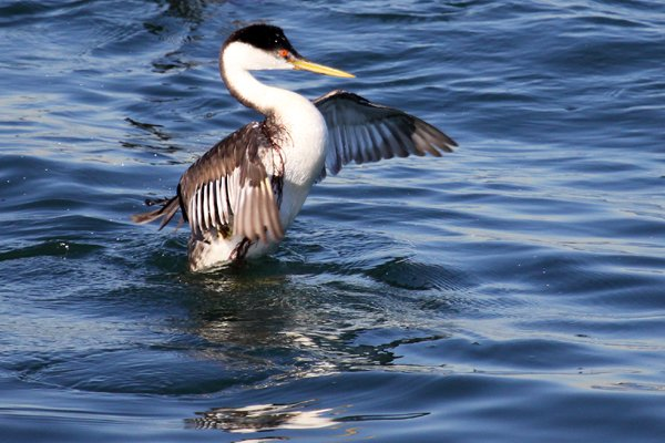 Western Grebe Aechmophorus occidentalis