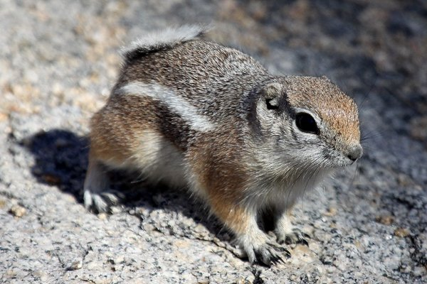 White-tailed Antelope Squirrel Ammospermophilus leucurus