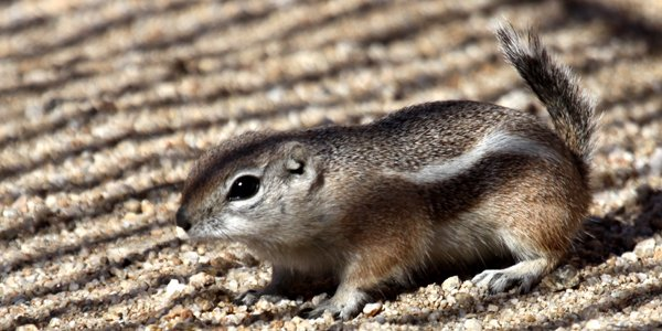 White-tailed Antelope Squirrel in the grill shadow
