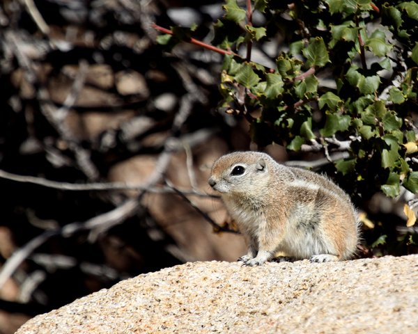 White-tailed Antelope Squirrel on a rock