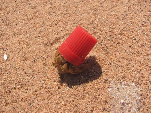 Xmas Hermit Crab