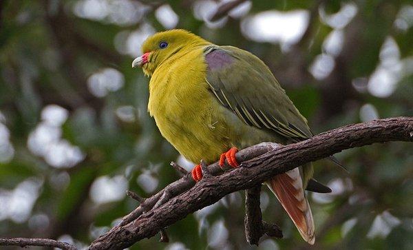 african-green-pigeon-BINNS-IMG_1655-copy