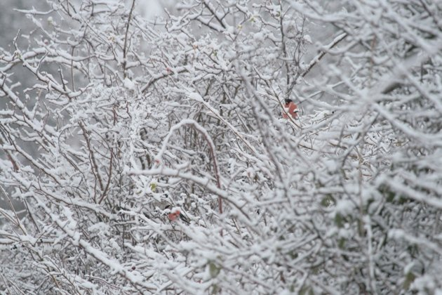 bullfinches in winter