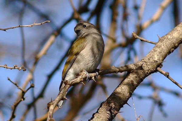 green-backed-honeybird-ml
