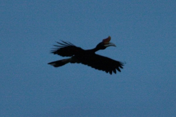 rhino hornbill in evening
