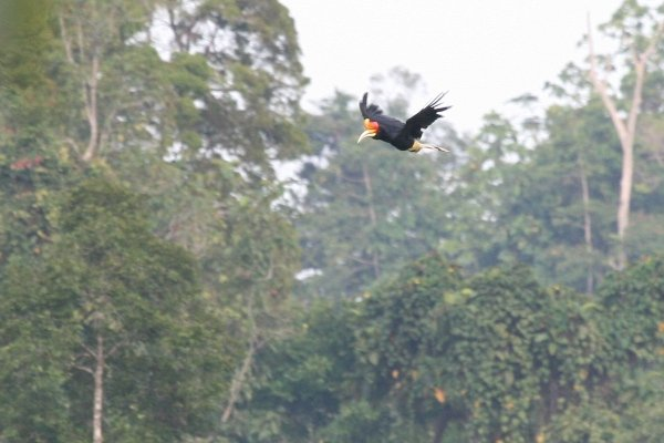 rhino hornbill in flight closer