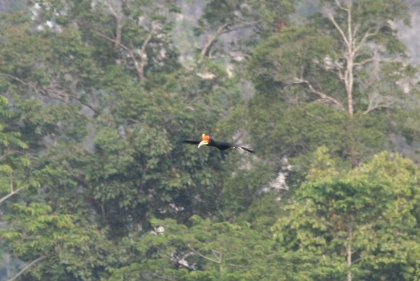 rhino hornbill in flight1