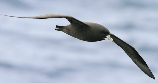 white-chinned-petrel-sa-ar-2