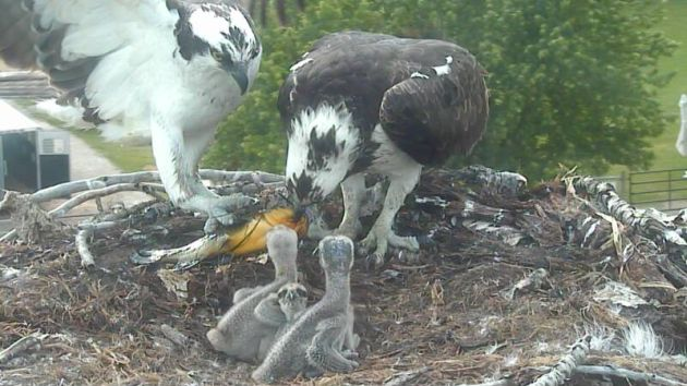 Ozzie and Harriet with the 2013 brood.
