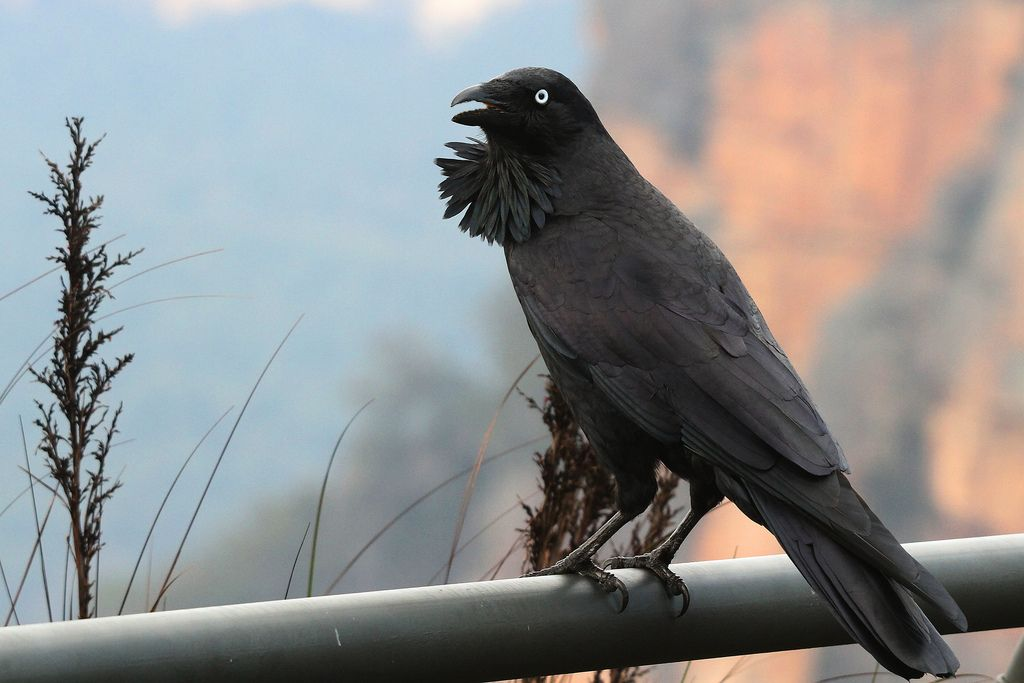 Australian Raven in Blue Mtns by Marj K.