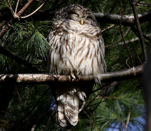 Barred Owl in Pelham Bay Park