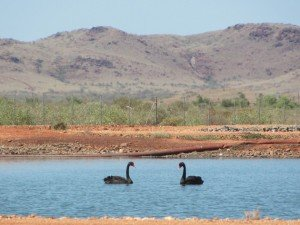 Black Swans-Karratha Poo Ponds
