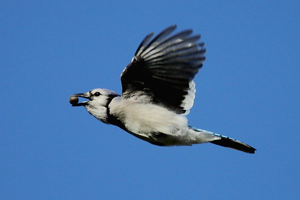 Blue Jay, photo by Corey Finger