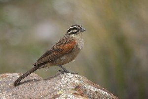 Cape Bunting by Adam Riley