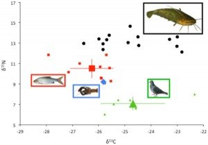 Isotopic analysis of predators and prey.