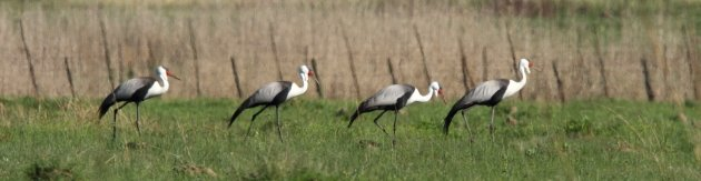 A family of Wattled Crane by Adam Riley