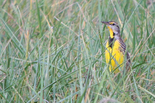 Eastern Meadowlark by Corey Finger