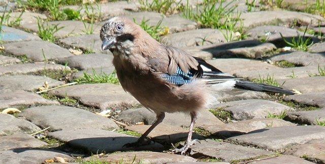 European Jay, photo by Scott Winton