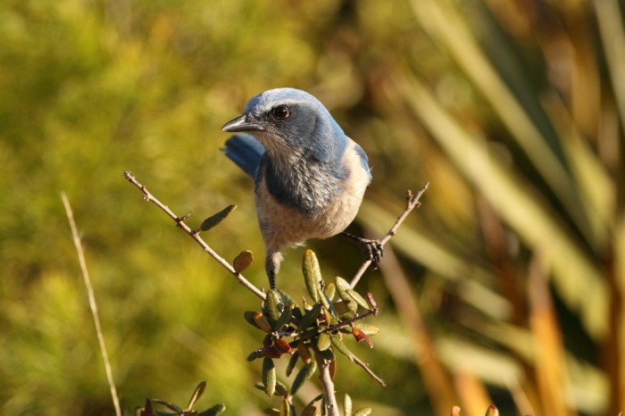 Florida Scrub Jay, photo by Anna Fasoli