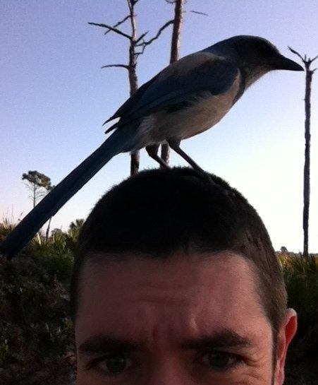 Florida Scrub-Jay - Cruickshank Sanctuary, Brevard Com Fl