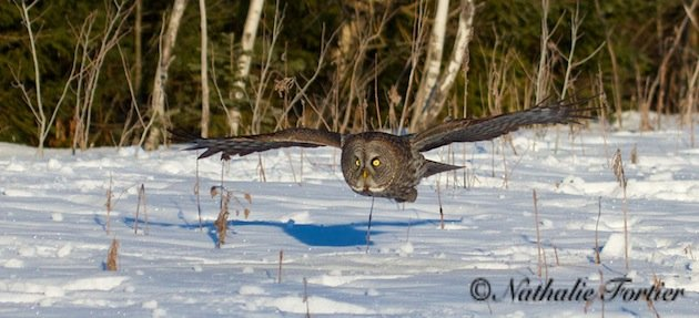 Great Gray Owl in flight (Nathalie Fortier)