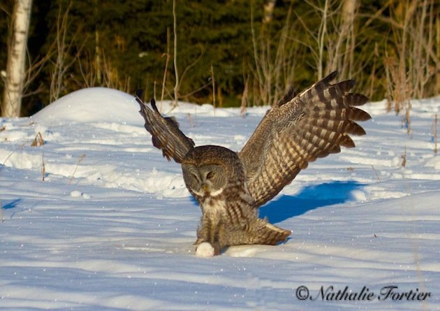 Great Gray Owl with mouse (Nathalie Fortier)