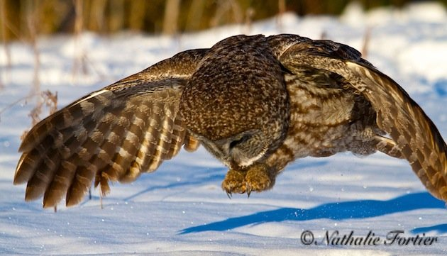 Great Gray Owl (photo by Nathalie Fortier)