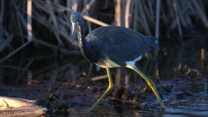 Tricolored Heron - Viera Wetlands, Brevard Co, Fl