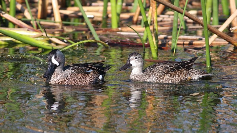 Blue-winged Teal - Viera Wetlands, Brevard Co, Fl