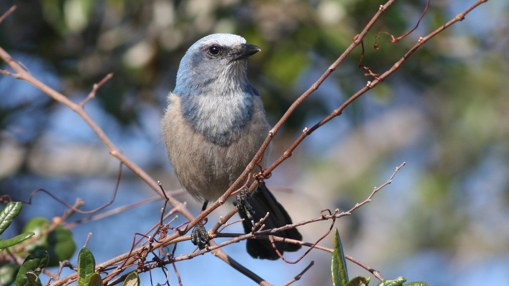 Florida Scrub-Jay - Cruickshank Sanctuary, Brevard Co, Fl