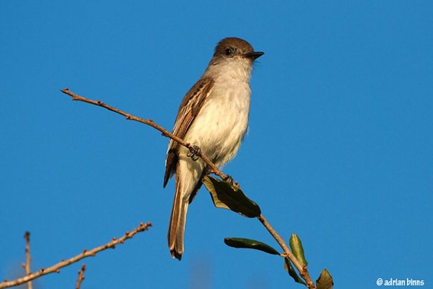 LaSagra's-Flycatcher-BINNS-IMG_9107-copy
