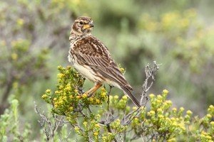 Large-billed Lark by Adam Riley