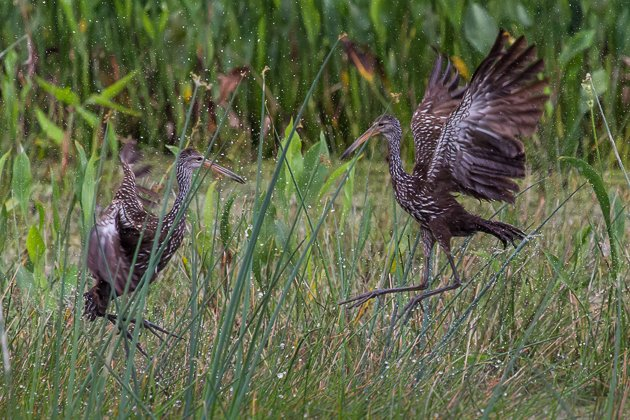 Limpkin battle by Phil McGrew