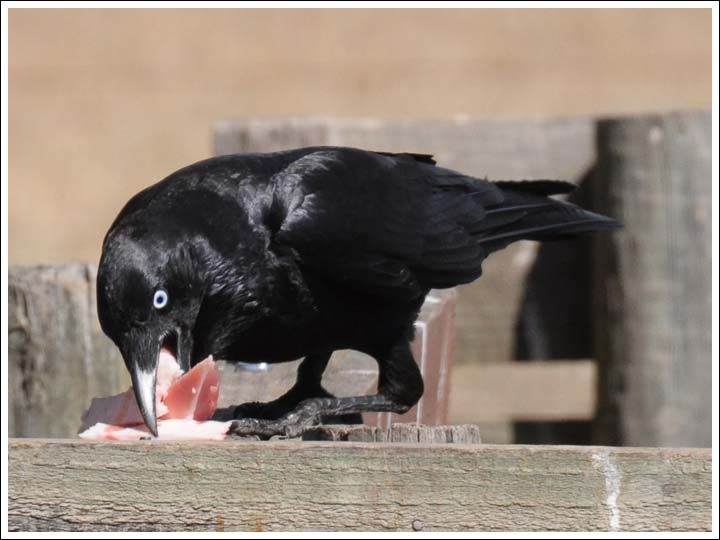 Little Raven with a big lunch by Duncan Fraser