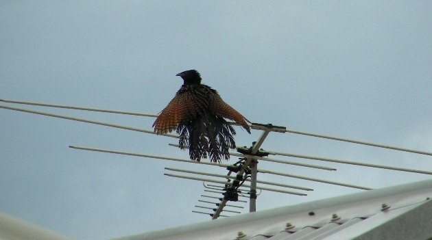 Pheasant Coucal on TV aerial