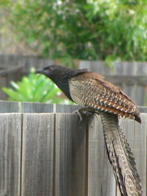 Pheasant Coucal on fence
