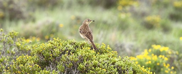 Mountain Pipit, a little known and recently described bird, by Adam Riley